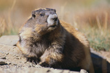Olympic Marmot Photographic Print by  DLILLC