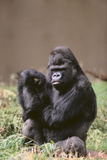 Gorilla Photographic Print by  DLILLC
