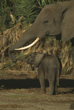 African Elephant with Small Calf Photographic Print by  DLILLC