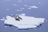 Crabeater Seals on Iceberg Photographic Print by  DLILLC