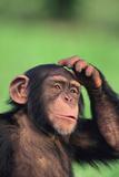 Chimpanzee Scratching Head Photographic Print by  DLILLC