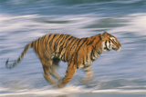 Tiger Running in Surf Photographic Print by  DLILLC
