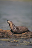 River Otter on Driftwood Photographic Print by  DLILLC