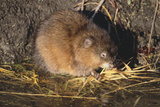 Muskrat Eating Grass Photographic Print by  DLILLC