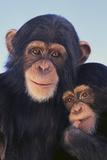 Chimpanzees Photographic Print by  DLILLC