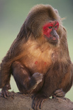 Stump-Tailed Macaque Photographic Print by  DLILLC