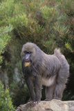 Mandrill Photographic Print by  DLILLC