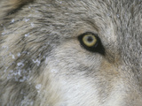 Eye of Gray Wolf Photographic Print by  DLILLC