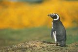 Magellanic Penguin Photographic Print by  DLILLC