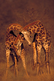 Male Giraffes Fighting for Dominance Photographic Print by  DLILLC