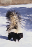 Striped Skunk in the Snow Photographic Print by  DLILLC