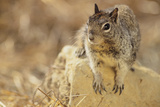 California Ground Squirrel Photographic Print by  DLILLC