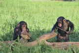 Chimpanzees Playing with Rocks and Sticks Photographic Print by  DLILLC