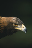 Golden Eagle Photographic Print by  DLILLC