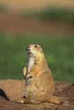 Alert Prairie Dog Fotografisk tryk af  DLILLC