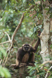 Agile Gibbon Photographic Print by  DLILLC