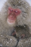 Snow Monkey and Baby Photographic Print by  DLILLC