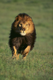 Galloping Lion Photographic Print by  DLILLC