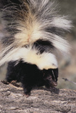 Striped Skunk Photographic Print by  DLILLC