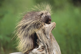 Porcupine Photographic Print by  DLILLC