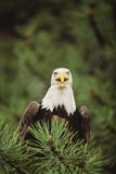 Bald Eagle in Tree Photographic Print by  DLILLC
