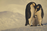 Emperor Penguins with Chick Photographic Print by  DLILLC
