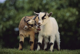 Pygmy Goats Photographic Print by  DLILLC
