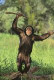 Happy Chimpanzee Photographic Print by  DLILLC