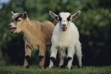 Pygmy Goats Fotografisk tryk af  DLILLC