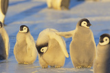 Young Emperor Penguins Photographic Print by  DLILLC