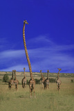 Giraffe with Extra Long Neck Photographic Print by  DLILLC