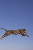 Jaguar Leaping Photographic Print by  DLILLC