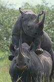 Black Rhinoceros Mating Photographic Print by  DLILLC