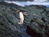 Rockhopper Penguins Jumping on the Rocky Shorline Photographic Print by  DLILLC