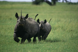 Black Rhino Mother and Calf Charging Photographic Print by  DLILLC