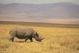 Black Rhinoceros Photographic Print by  DLILLC