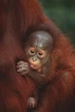 Baby Orangutan Holding onto Mother Photographic Print by  DLILLC
