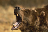 Snarling Grizzly Bear Photographic Print by  DLILLC