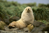 Fur Seal Photographic Print by  DLILLC
