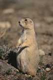 Black-Tailed Prairie Dog Fotografisk tryk af  DLILLC