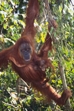 Orangutan and Baby Swinging in the Trees Fotografisk tryk af  DLILLC