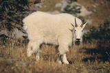 Mountain Goat Photographic Print by  DLILLC