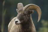 Bighorn Sheep Photographic Print by  DLILLC