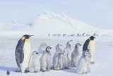 Emperor Penguins Covered in Snow Photographic Print by  DLILLC