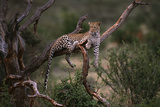 Leopard Lying on Tree Branch in Samburu National Reserve Photographic Print by  DLILLC