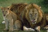 Lions with Cub Fotodruck von  DLILLC