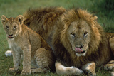 Lions with Cub Photographic Print by  DLILLC