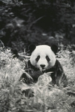Panda in Forest Photographic Print by  DLILLC