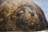 Close-Up of Sleeping Fur Seal Photographic Print by Jon Hicks