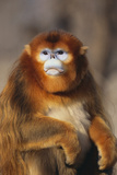 Sichuan Golden Monkey Photographic Print by  DLILLC